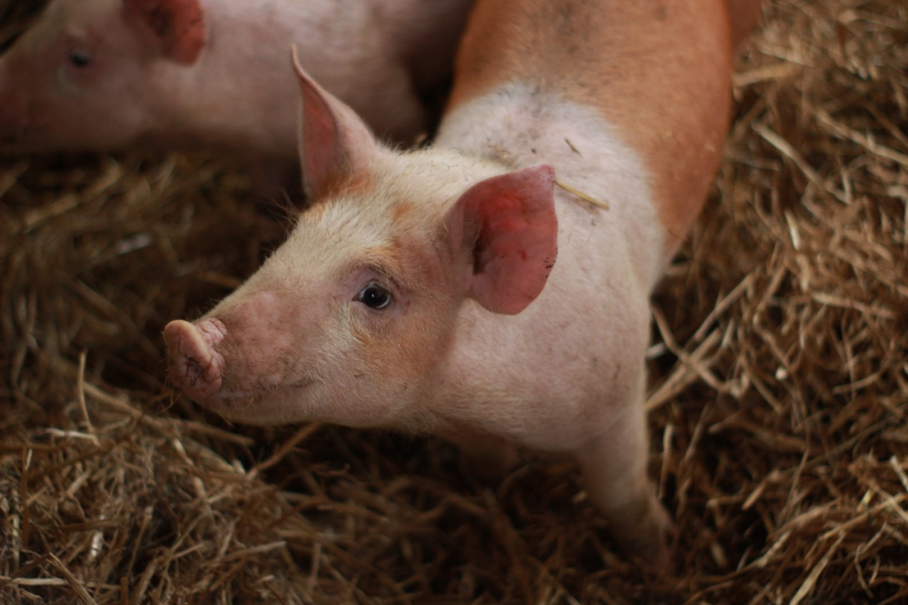 Little pig on a bed of straw looking up at the camera